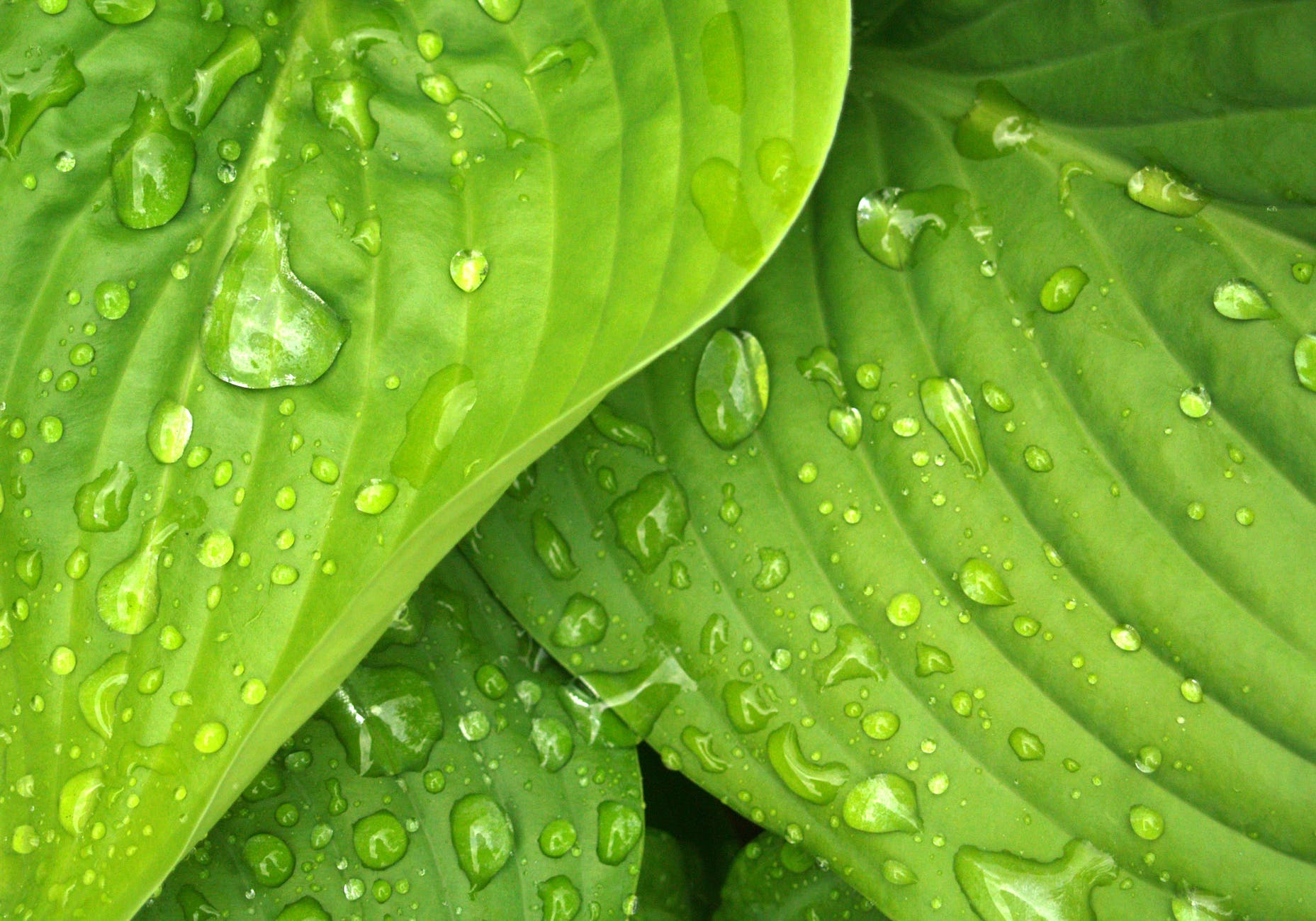 leaves rain green hosta